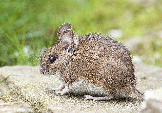 Süße Mäusenamen für männliche und weibliche Tiere entdecken