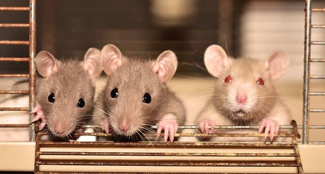 Coole Rattennamen für Männchen und Weibchen einfach finden